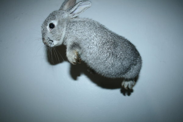 the flying rabbit